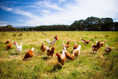 Superchickens and Marketing Productivity?
